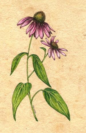 botanicalconeflower.jpg