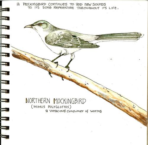 sketchmockingbird1.jpg