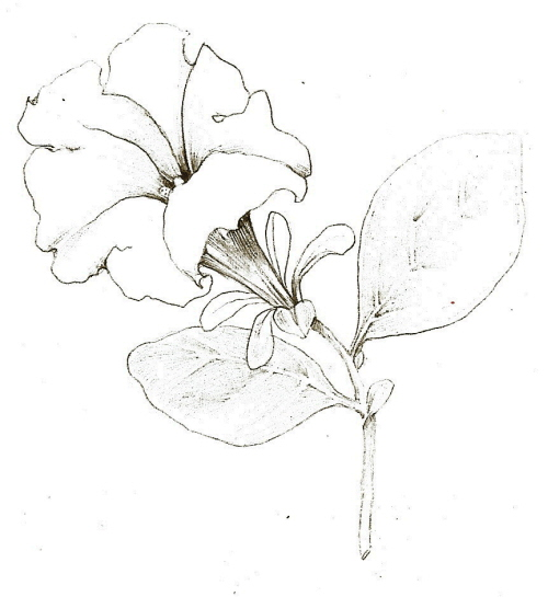 Tutorial  Botanical drawing with pencil and watercolorSimple Pencil Sketches For Beginners