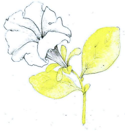 petunia2.jpg