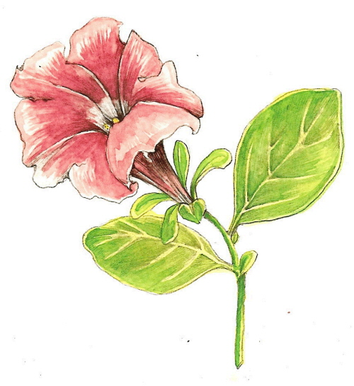 Tutorial Botanical Drawing With Pencil And Watercolor Valwebb Com