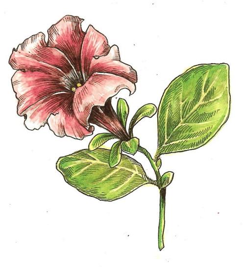 petunia5.jpg