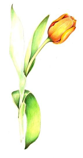 The Tulip Trick Valwebb Com