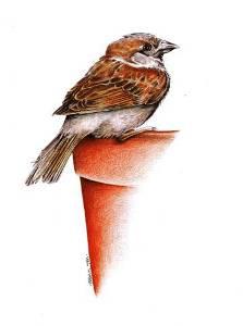 Val Webb - House Sparrow1