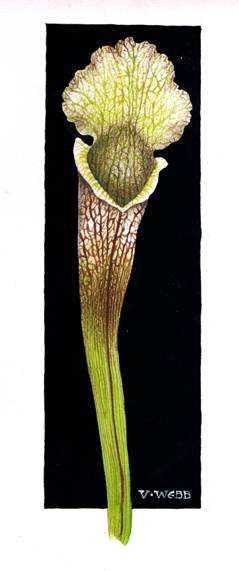 Blog pitcher plant