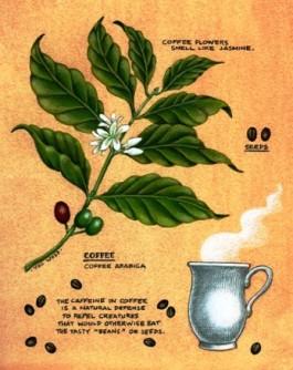 coffeearabica