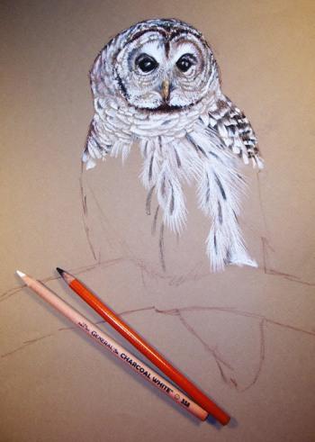 Barred OwlB