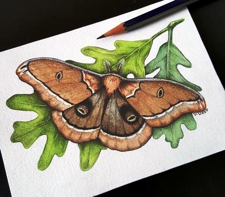 4-29 Polyphemus moth2