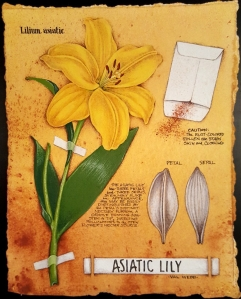 asiatic-lily